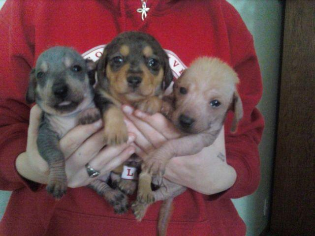 Weiner Dogs For Sale In Michigan