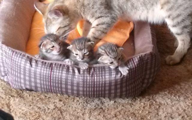 Half bengal/ half savannah kittens