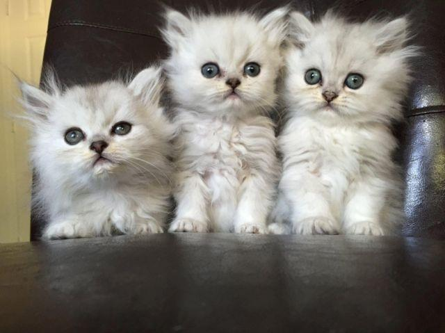 ... - Page Kittens Are Available For Sale In The Uk Only Koko S Kittens