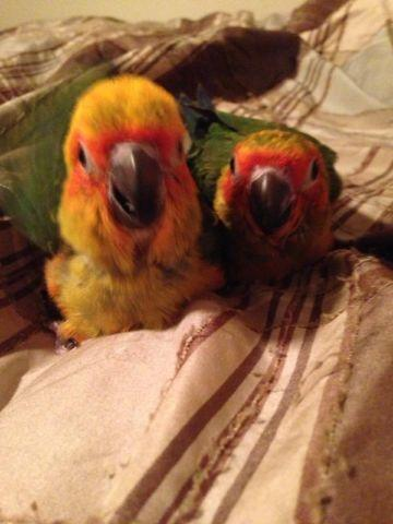 Hand fed and vet checked baby sun conure and green cheek conures