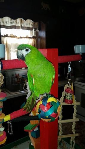 Hand fed Hahns Macaw 11 months old