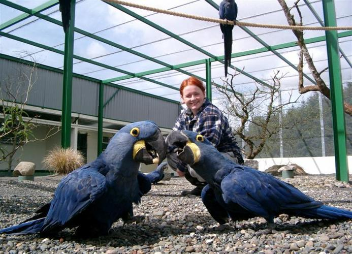 Hand Raised Hyacinth Macaw and Black Palm Cockatoo Parrots For Sale