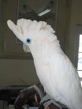 Handfed Ducorps Cockatoos For Sale In Ramona California