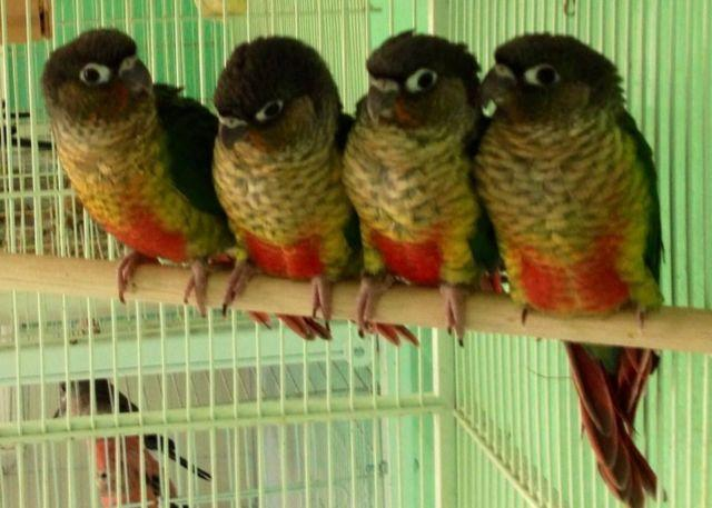 Handfed Yellow Sided Green Cheek Conure Babies High Red