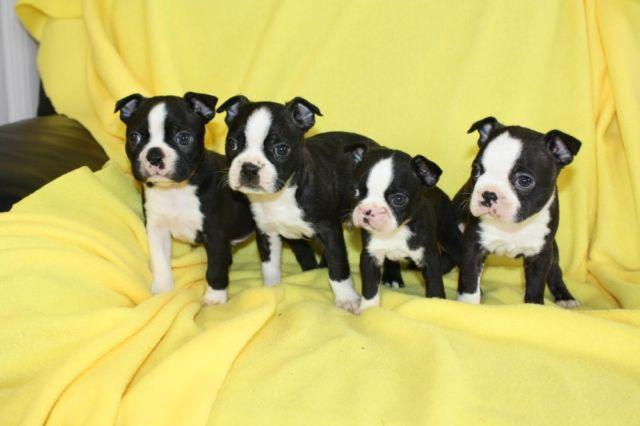 boston terrier puppies for sale oregon handsome akc boston terrier puppies for sale in oregon 9287
