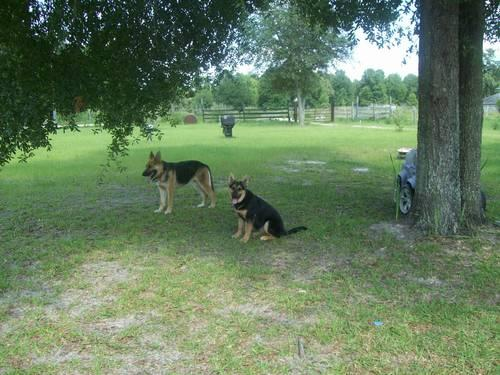 Handsome AKC registered German Shepherd for sale-5