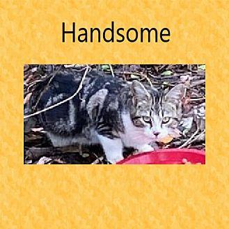 Handsome Domestic Shorthair Young Male