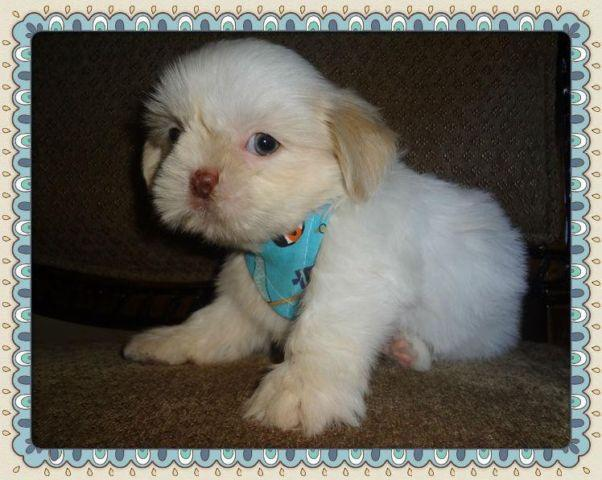 Handsome Male Imperial Shih Tzu For Sale In Orlando Florida