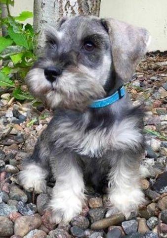 Handsome Salt And Pepper Male Miniature Schnauzer Puppy 12 Weeks Old