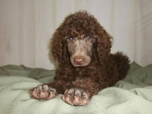 Handsome Standard Poodle Puppies For Sale In Princeton