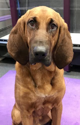 Hank Bloodhound Baby Adoption Rescue