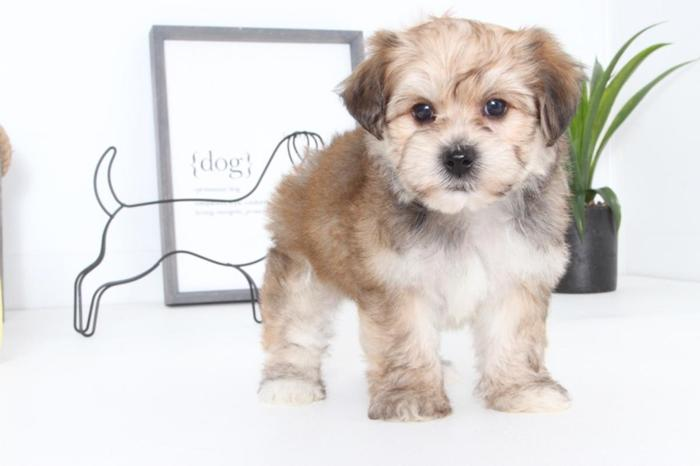 Hannah- Adorable Female Morkie Puppy for Sale in Naples, Florida