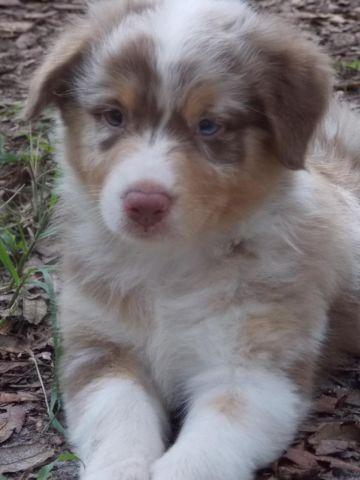 Happy and Loving Australian Shepherd Puppies - Red
