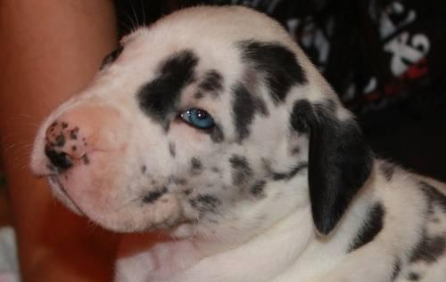 Harlequin merle mantle great dane litter due 12 15 for sale in