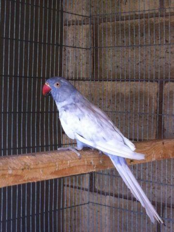 Doves For Sale >> Harlequin pied ringneck for Sale in Santa Clarita, California Classified | AmericanListed.com