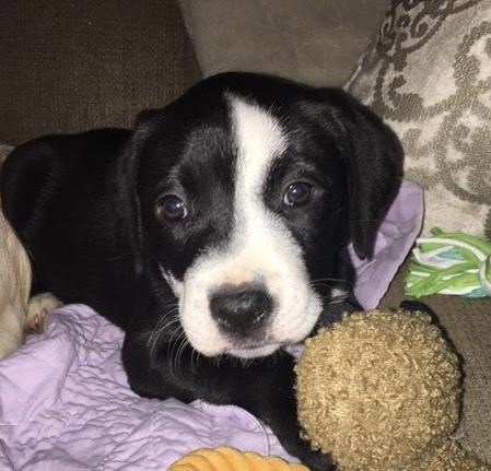Harley American Bulldog Baby - Adoption, Rescue for Sale in