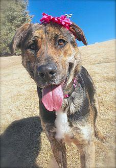Harmony Catahoula Leopard Dog Adult Female