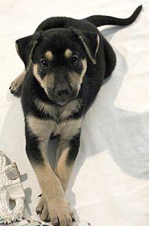 Harpo Manchester Terrier Puppy Male For Sale In Lisbon Iowa