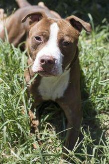Hartley American Pit Bull Terrier Adult Male