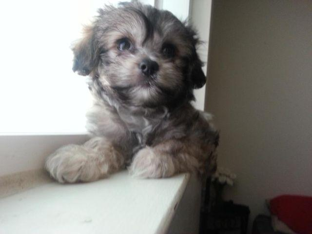 Havamalt Male Puppy for Sale - Havanese - Maltese - Mix, 10 weeks Old