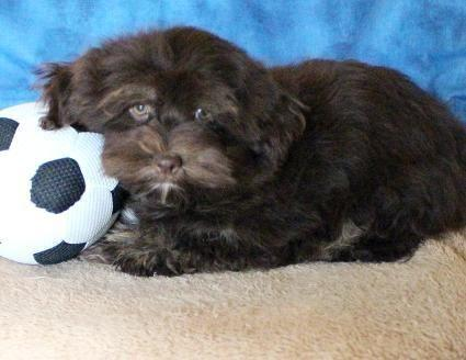 Havanese, Adorable AKC Chocolate Male with sparkley greenish/blue eyes