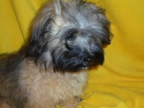 Z Farmy Zvirat Havanese HAVANESE - Adorable Re...