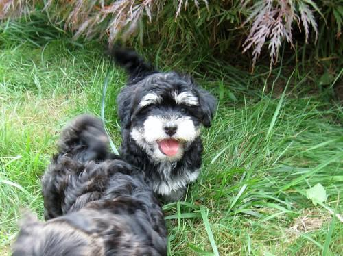 Havanese Female Puppy, AKC, small, colorful for Sale in ...