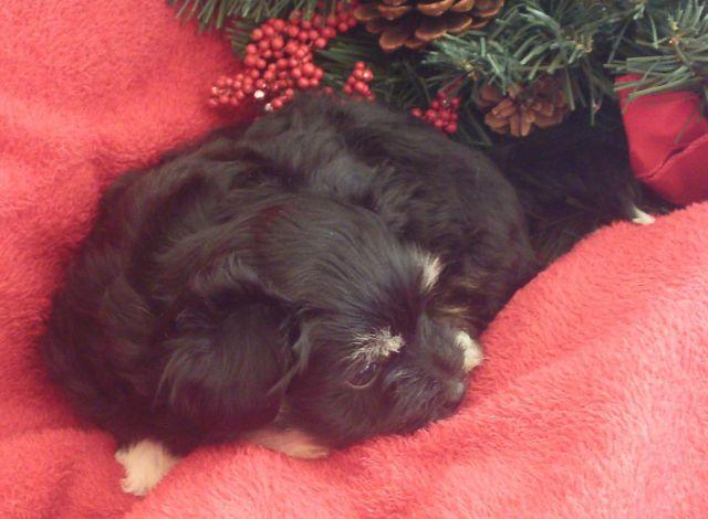 HAVANESE-HAVAPOO PUPPIES-RASCAL & LITTLE ELF-6 WEEKS