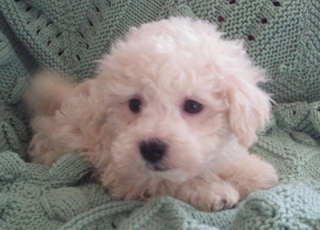 HAVANESE-POODLE-HAVAPOO PUPPY-LITTLE RASCAL-MALE