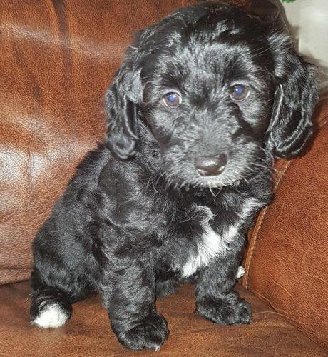 Havanese Poodle Puppies Havapoo For Sale In Erin