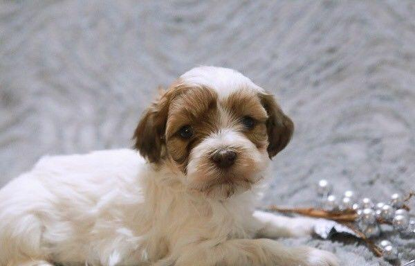 Havanese Puppies For Sale In West Palm Beach Florida Classified