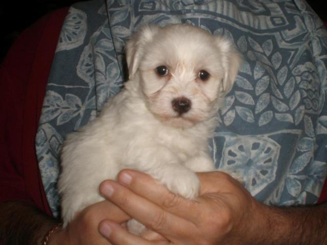 Havanese Puppies For Sale In Point Texas Classified