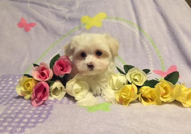 Havanese Puppies Available Now For Sale In Denton Texas Classified