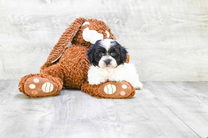Havanese Puppies For Sale! Oreo!! ( F ), Www premierpups com