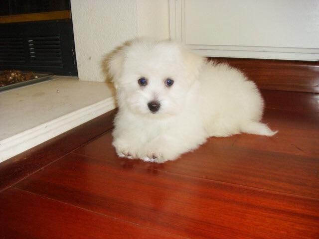 Havanese puppies Male $750 Female $850 shots pure 9 weeks