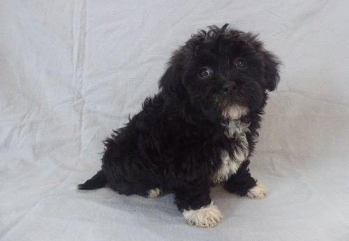 Havanese Puppy For Sale Adoption Rescue For Sale In Dundee Ohio