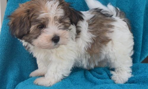 Pets And Animals For Sale In Sugarcreek Ohio Puppy And Kitten