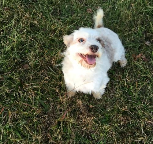 Havanese Puppy For Sale In South Carolina Classifieds Buy And Sell
