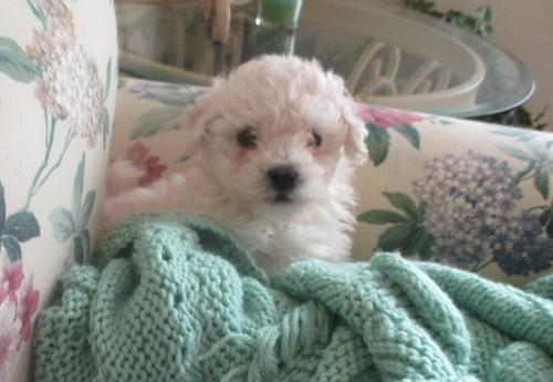 Havanese Puppy for Sale - Adoption, Rescue