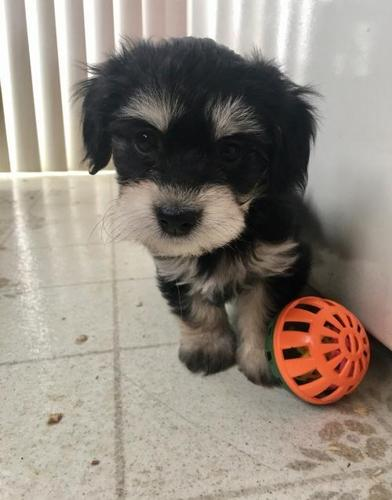 Havanese Puppy for Sale - Adoption, Rescue for Sale in