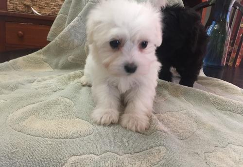 Havanese Puppy For Sale Adoption Rescue For Sale In Hickory