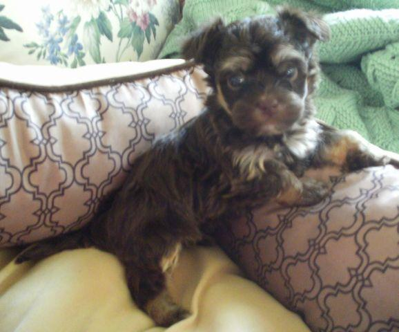 HAVANESE PUPPY-MALE-AKC-COCO MAN