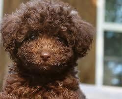 Havanese Shih Poo Puppies 8 Weeks For Sale In Phoenix