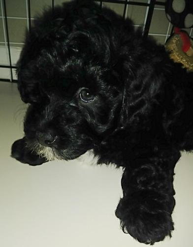 Havapoo Mix Puppies For Sale In Grand Rapids Michigan