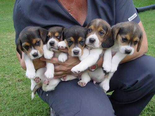 Have 5 Male Tri Color Beagle Puppies 5 Weeks Old Call For