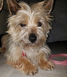 HAYDEN in MO Cairn Terrier Adult Male for Sale in Topeka, Kansas