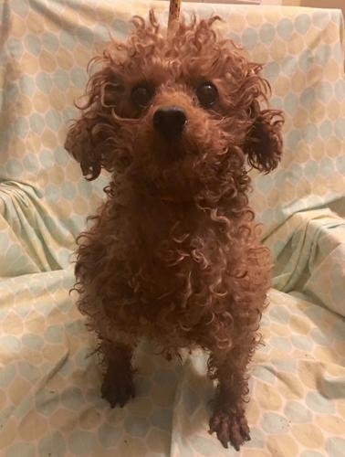 Poodle Teacup Pets And Animals For Sale In Indiana Puppy