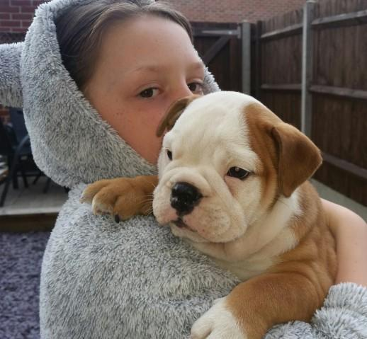 Hdgs Home Trained English Bulldog Puppies For Sale In Des Moines
