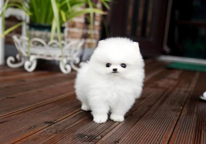 Healhy Teacup Pomeranian Puppies
