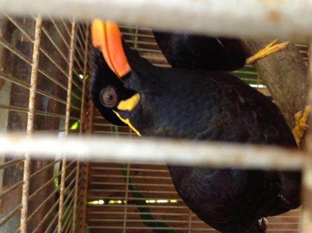 Healthy adult male Greater Hill mynah bird for Sale in ... - photo#50